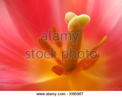 Tulpe, close-up - Stock Photo