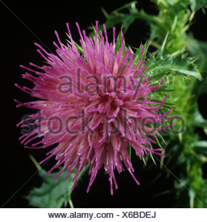 Welted thistle Carduus acanthoides flower against a black background - Stock Photo