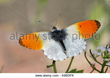 Orange-tip (Anthocharis cardamines), male on cuckoo flower, Germany - Stock Photo