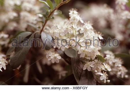 Cherri Berri Pyracantha, Chinese firethorn (Pyracantha fortuneana, Photinia fortuneana), blooming - Stock Photo