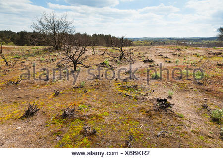 Ground covering plant regrowth at site of forest fire at Frensham Little Pond, Surrey, England, United Kingdom, Europe - Stock Photo