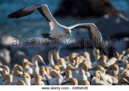 Cape gannet (Morus capensis) in flight by colony on Bird Island in Lambert's Bay, Western Cape, South Africa - Stock Photo