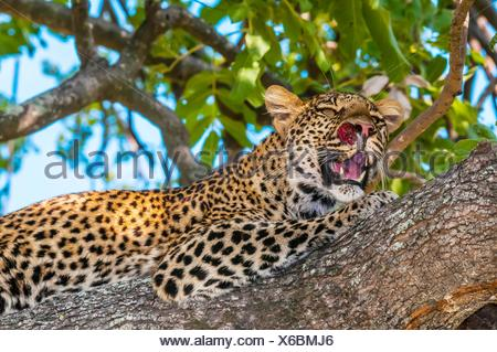 Leopard in a tree, Kwando Concession, Linyanti Marshes, Botswana. - Stock Photo