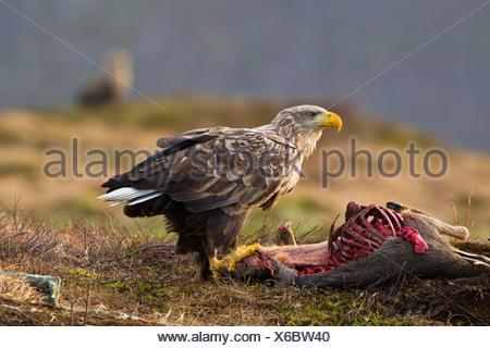 white-tailed sea eagle (Haliaeetus albicilla), feeding on dead deer, Norway - Stock Photo