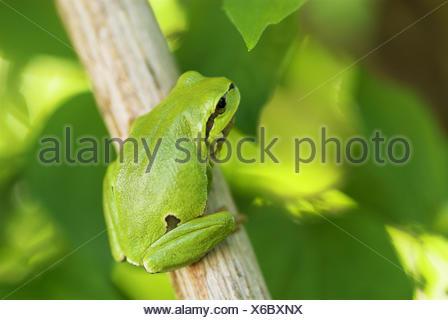 Common tree frog (Hyla arborea), sitting on a branch, spring, National Park Lake of Neusiedel, Austria - Stock Photo