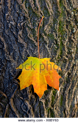 Autumnal maple leaf, sticking to a tree trunk - Stock Photo