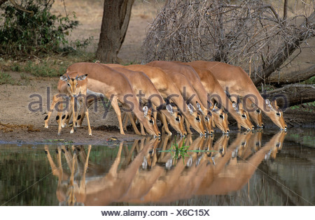 Impalas (Aepyceros melampus), in a row, drinking, Kruger National Park, South Africa - Stock Photo