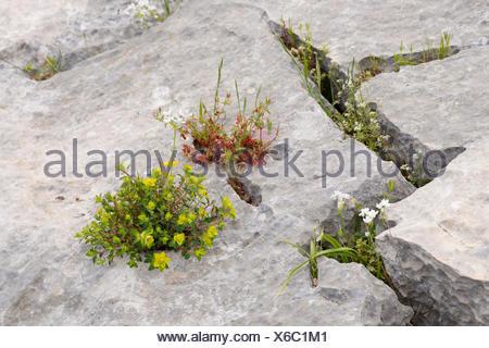 Flowers growing in crevices, Ölüdeniz, Muğla Province, Aegean region, Turkey - Stock Photo