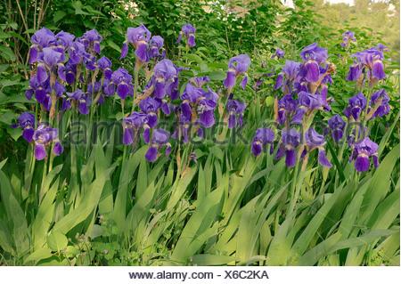 Medium Tall Bearded Iris (Iris barbata-media hybride), Provence, southern France, France - Stock Photo