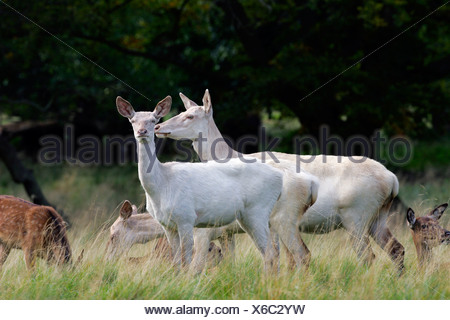 Watchful white female red deers during the rut - white hinds (Cervus elaphus) - Stock Photo