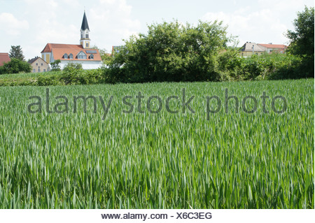 Wheat-field in spring - Stock Photo