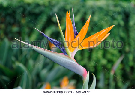 Crane Flower (Strelitzia reginae) in the Botanical Garden, Jardim Botanico da Madeira in Funchal, Madeira, Portugal, Europe - Stock Photo