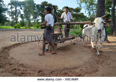 Two Burmese men in a Longyi or wrap-around skirt, and an ox which turns a simple stone mill for peanut oil production, Bagan - Stock Photo