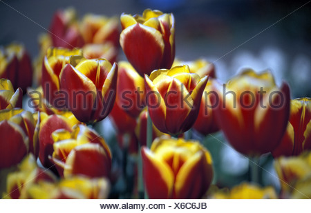 Rot gelbe Tulpen - Stock Photo