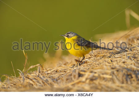 Yellow wagtail (Motacilla flava), male on straw, Austria, Burgenland - Stock Photo