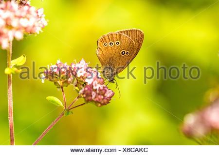 ringlet, Aphantopus hyperantus, on an oregano flower. - Stock Photo