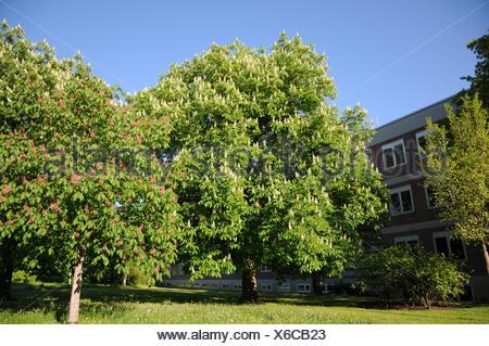 Aesculus hippocastanum, Horse chestnut - Stock Photo