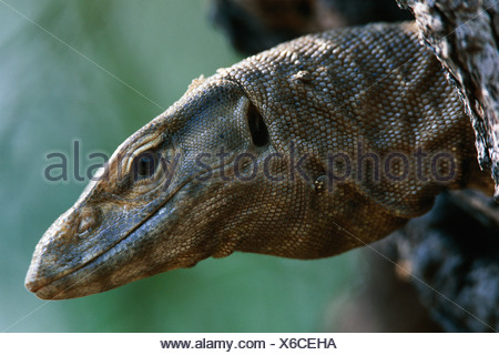 Bengal monitor lizard head portrait Varanus benghalensis Keoladeo Ghana NP India - Stock Photo