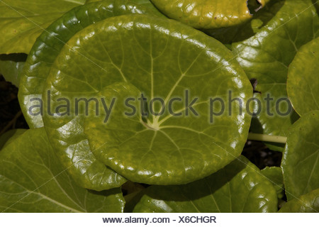 iron cross (Begonia masoniana), leaf, Portugal - Stock Photo