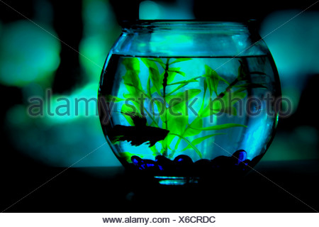 Fish bowl; Siamese fighting fish (Betta splendens) - Stock Photo