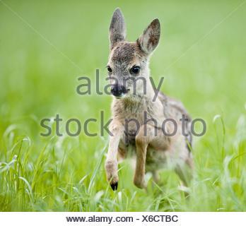 European Roe Deer (Capreolus capreolus). Fawn running in grass. Germany - Stock Photo