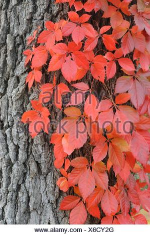 Virginia creeper (Parthenocissus quinquefolia), climbing on Live Oak (Quercus virginiana) with fall colors, Kerrville, Texas - Stock Photo