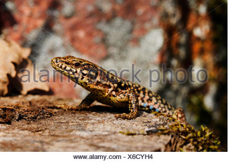 common wall lizard (Lacerta muralis, Podarcis muralis), on a tree snag, side view, Germany, Baden-Wuerttemberg, Black Forest - Stock Photo