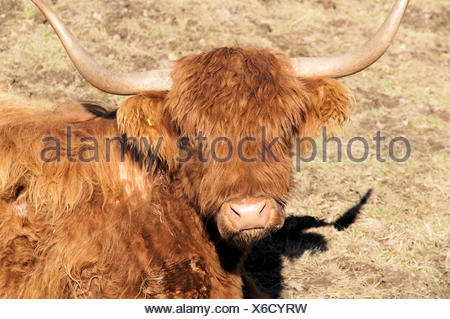 Nahaufnahme vom Kopf eines Schottischen Hochlandrindes auf einer Weide in Sachsen, Deutschland; langes, braunes Fell und breit ausladende Hörner, Close up of the head of a Scottish Highland in a pasture in Saxony, Germany; long brown fur and wide sweeping horns; - Stock Photo