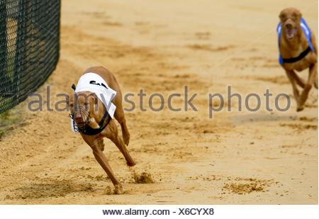 Greyhounds - Stock Photo