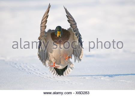Mallard drake with wings extended lands in snow near Chena River, Fairbanks, Interior Alaska, Winter, Digitally Altered - Stock Photo