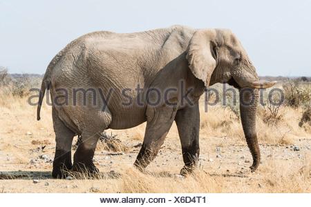 African Bush Elephant (Loxodonta africana) walking with wet feet on dry grassland, Etosha National Park, Namibia - Stock Photo
