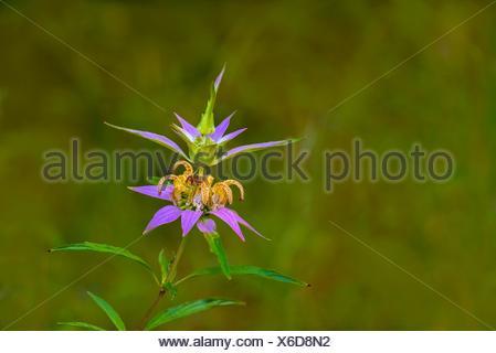 Spotted Bee-balm (Monarda punctata). - Stock Photo