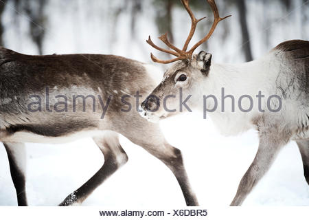 Two Reindeer, Lapland, Finland - Stock Photo