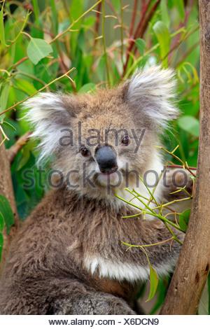 Koala (Phascolarctos cinereus), portrait, adult in tree feeding on Eucalyptus, Australia - Stock Photo