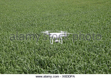Flying white quadrocopters over a field of wheat. Flying gadget for video. - Stock Photo