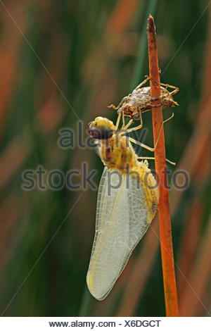 black sympetrum (Sympetrum danae), larva hatches out of its larval skin, Germany - Stock Photo