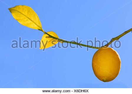 Ripe lemon on a branch, Kefalonia, Ionian Islands, Greece