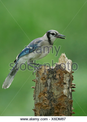 Blue Jay - Cyanocitta cristata - Juvenile - Stock Photo