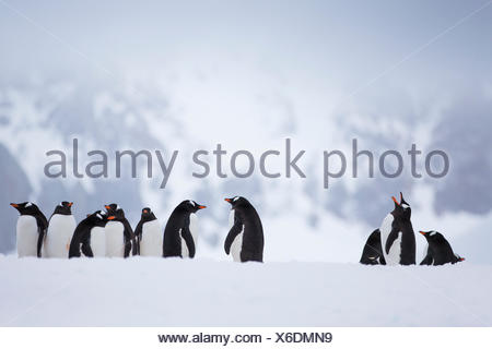 A colony of gentoo penguins in Antarctica. - Stock Photo