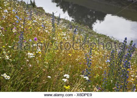 Wild flowers at the Emscher, Essen, Germany - Stock Photo