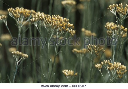 curry plant (Helichrysum italicum), blooming - Stock Photo
