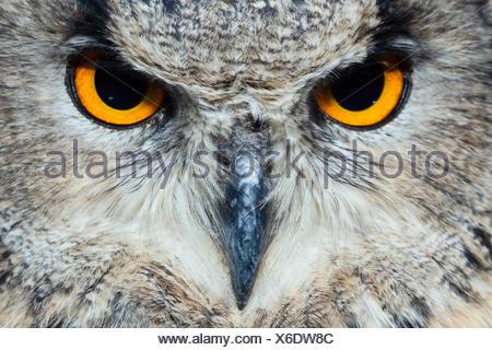 European Eagle Owl, Bubo bubo, Bavaria, Germany - Stock Photo