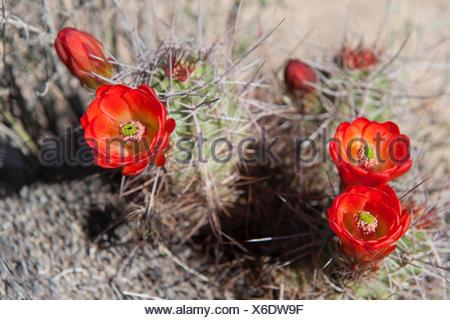 Claretcup cactus (Echinocereus triglochidiatus)