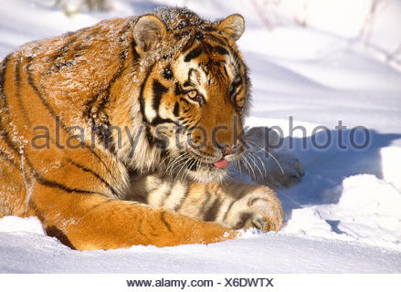 Russia. Wildlife. Siberian Tiger in the snow. - Stock Photo