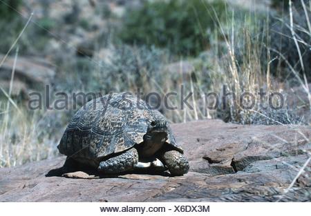 leopard tortoise (Geochelone pardalis), juvenile, South Africa, Karoo NP - Stock Photo