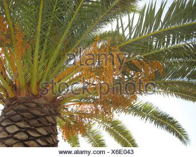 Low angle view of Date Palm Tree (Phoenix dactylifera), Budoni, Sardinia, Italy - Stock Photo
