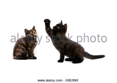 Black British Shorthair and Black Tortoise-shell British Shorthair Domestic Cat, Kittens against White Background - Stock Photo
