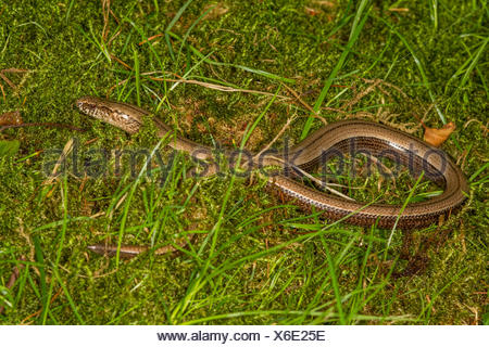 European slow worm, blindworm, slow worm (Anguis fragilis), in a meadow, Germany, Bavaria - Stock Photo