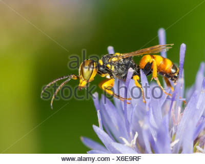 digger wasp (Dinetus pictus), Male on Sheep�s Bit Scabious (Jasione montana), Germany - Stock Photo