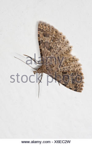 Twenty-plume Moth, Twenty plume moth, Twenty-plumed Moth, Many-plumed moth (Alucita hexadactyla, Alucita polydactyla, Phalaena hexadactyla), with outstretched wings on white background, Germany - Stock Photo